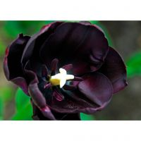 Bio tulp Queen of Night 7 bollen - afbeelding 3