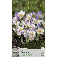 Crocus species blue pearl 15 stuks