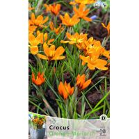 Krokus orange monarch 10 stuks