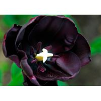 Tulp Queen of Night 25 bollen - afbeelding 2