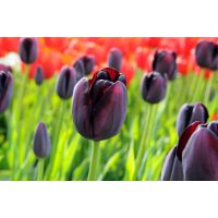 Tulp Queen of Night 25 bollen - afbeelding 3