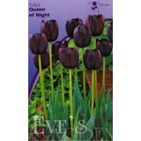 Tulp Queen of Night 25 bollen - afbeelding 1